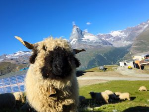 Up Close with Sheep near the Matterhorn